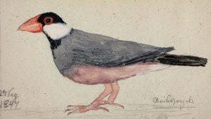 1847. Friederike von Eschwege (called Ideke), born Grimm (1833-1914). Reisvogel, water color and pencil, Germany © Stadt Kassel, holdings of the Grimm Collection. Inventory number 551